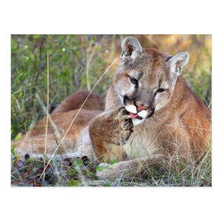 Mountain Lion - Hmmm Postcard