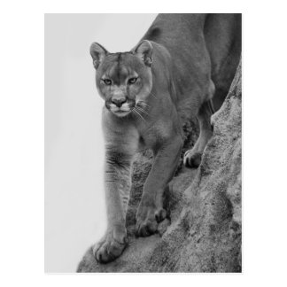 Mountain Lion in Black and white Postcard