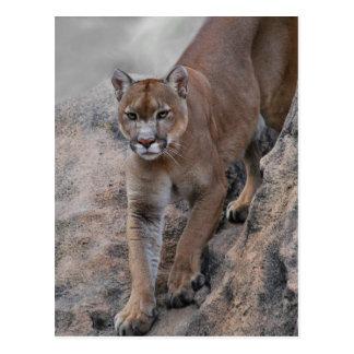 Mountain lion rock climbing postcard