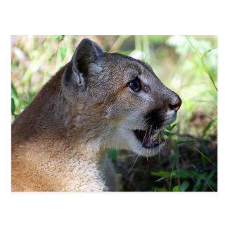 Mountain Lion Smile Postcard