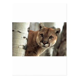 Mountain Lion Striking a Pose Postcard