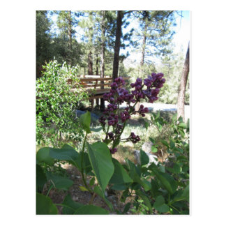 Mountain Spring Purple Lilacs Post Cards