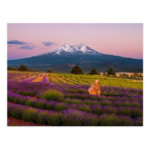 Mt. Shasta Lavender Sunset... Post Cards