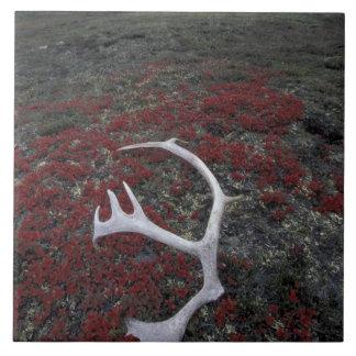 N.A., USA, Alaska, A.N.W.R. Caribou antler lies Tile
