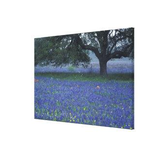 NA, Texas, Devine, Oak and blue bonnets Canvas Print
