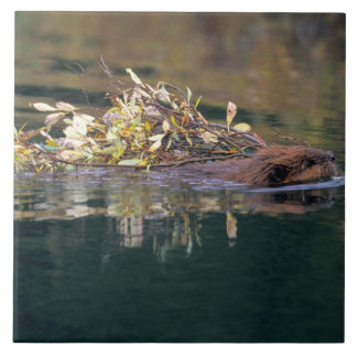 NA, USA, Alaska, Denali NP, Beaver collecting Tile