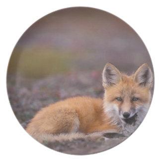 NA, USA, Alaska, red fox, Vulpes vulpes, in fall Plate