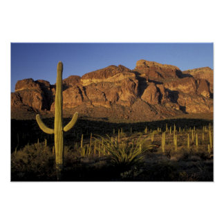 NA, USA, Arizona. Organ Pipe Cactus National 2 Print