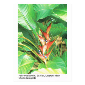 Nature,  Tropical  , Heliconia, Lobster's  Claw Postcard