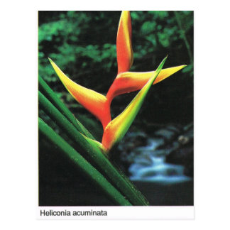 Nature,  Tropical  plants, Heliconia acuminata Postcard