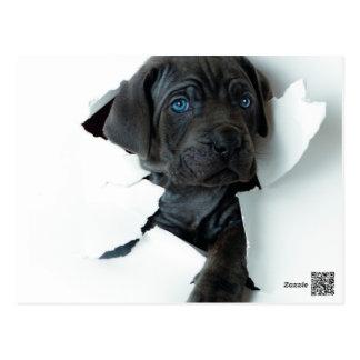 Neapolitan Mastiff black dog  Tearing Through Postcard