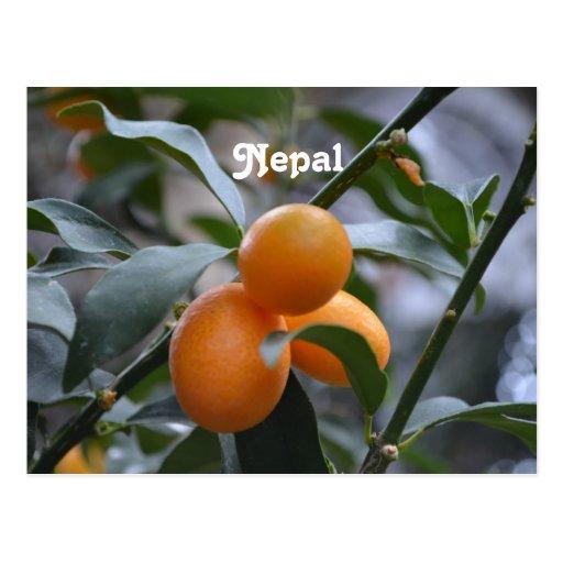 Nepal Kumquats Post Card