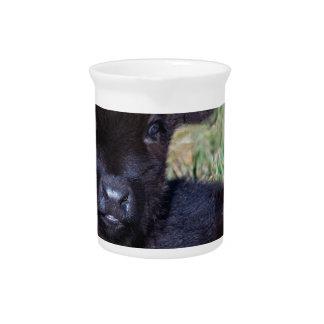 Newborn black scottish highlander calf lying pitcher