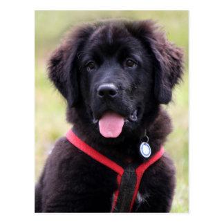 Newfoundland dog puppy cute beautiful photo postcard
