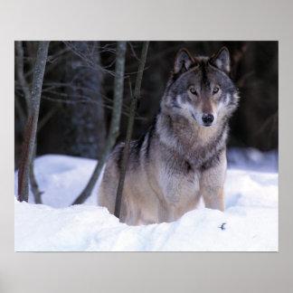 North America, Canada, Eastern Canada, Grey wolf Poster