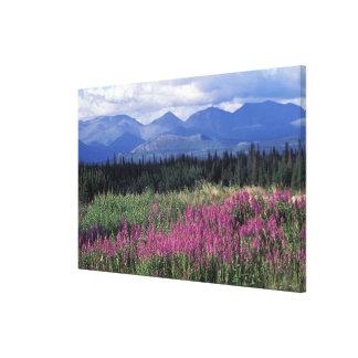 North America, Canada, Yukon. Fireweed blooms Canvas Print
