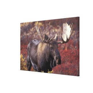North America, USA, Alaska, Denali NP. Alces Canvas Print