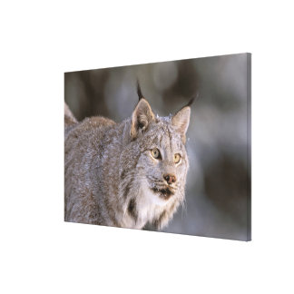 North America, USA, Alaska, Haines. Lynx (Felis 2 Canvas Print