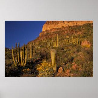 North America, USA, Arizona, Organ Pipe Cactus 2 Poster