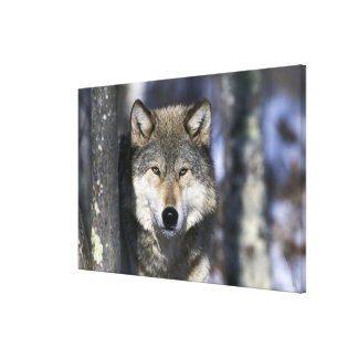 North America, USA, Minnesota. Wolf Canis 2 Canvas Prints