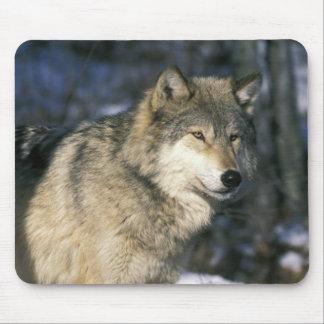 North America, USA, Minnesota. Wolf (Canis 2 Mouse Pad