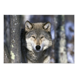 North America, USA, Minnesota. Wolf Canis 2 Photo