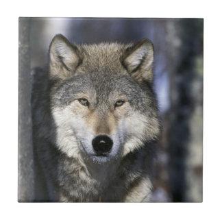 North America, USA, Minnesota. Wolf Canis 2 Tile
