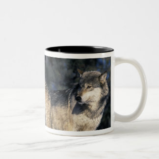 North America, USA, Minnesota. Wolf Canis 2 Two-Tone Coffee Mug