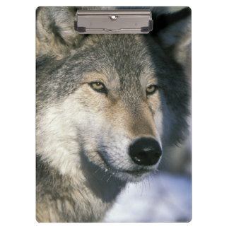 North America, USA, Minnesota. Wolf Canis 3 Clipboard