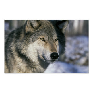 North America, USA, Minnesota. Wolf Canis 3 Posters