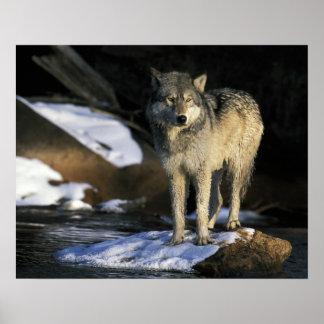 North America, USA, Minnesota. Wolf (Canis Print