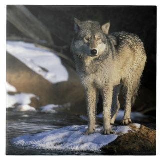 North America, USA, Minnesota. Wolf (Canis Tile