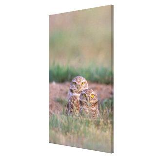 North America, USA, Oregon. Burrowing Owls 2 Stretched Canvas Prints