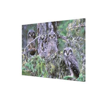 North America, USA, Oregon. Burrowing Owls 3 Canvas Prints