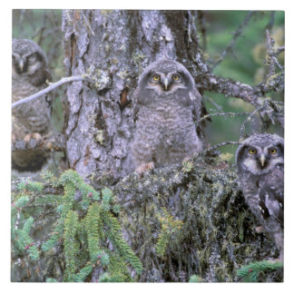 North America, USA, Oregon. Burrowing Owls 3 Tile