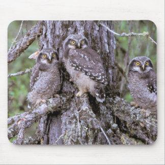 North America, USA, Oregon. Burrowing Owls Mouse Pad