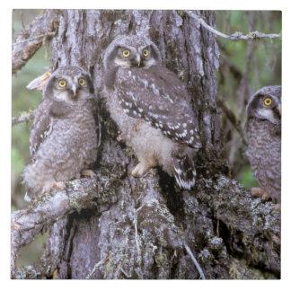 North America, USA, Oregon. Burrowing Owls Tile