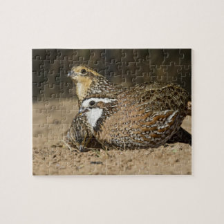 Northern Bobwhite quail babies at pond for drink Jigsaw Puzzle