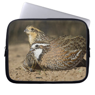 Northern Bobwhite quail babies at pond for drink Laptop Sleeve