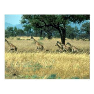 Northern Nubian Giraffe - Running Post Card