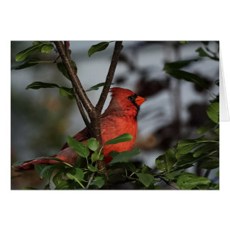 Notecard with Beautiful Resting Cardinal Note Card