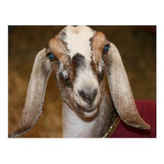 Nubian Dairy Goat Doe White Stripe Caprine Postcard