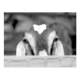 Nubian doe bw peeking over wooden rail jpg postcards