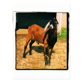 Nubian Goat Postcard