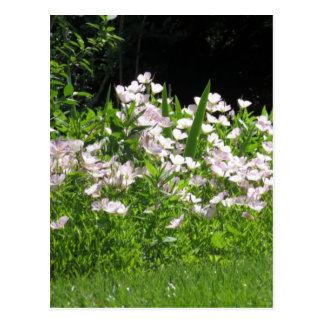 nvn718 Cherry Hill NJ USA Wild Spring Bloom White Postcard