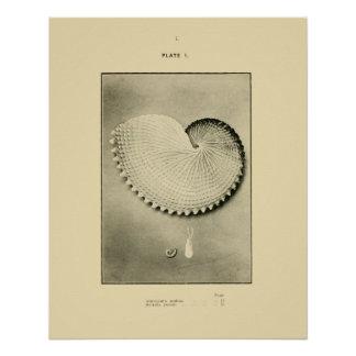NZ Shells - Argonauta nodosa and Spirula Peroni Poster