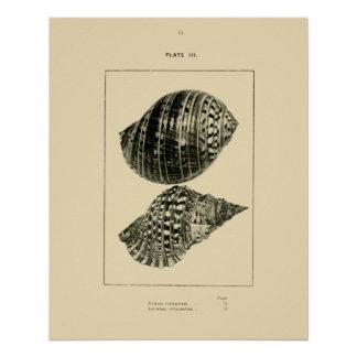 NZ Shells - Dolium variegatum, Lotorium rubicundum Poster