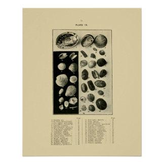 NZ Shells - Paua etc. Poster