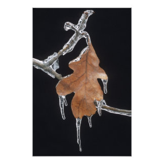 Oak Leaf with Ice Sickles After Ice Storm ; Photo Print