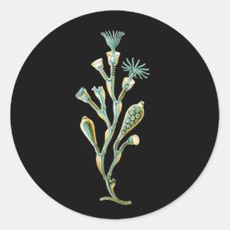 Obelia geniculata classic round sticker